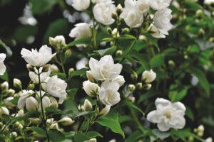 de overgang en reukvermogen, jasmijn bloemen