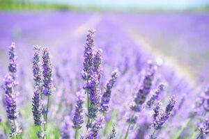 eigen lavendelolie in december, bloeiende lavendel bloemen