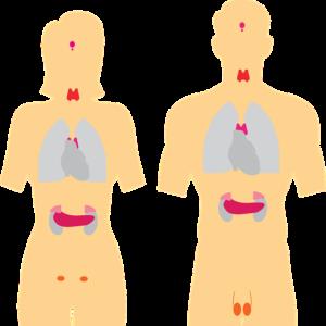 Menopauze en hypothyreoïdie endocrine-system